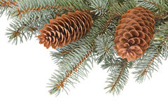 Fir tree branches with pinecones Royalty Free Stock Images