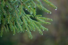 Fir-tree branches after a rain. Young green fir-tree branches with rain drops close-up on grey background in autumn Stock Image