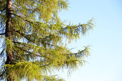 Fir tree branches. Royalty Free Stock Image