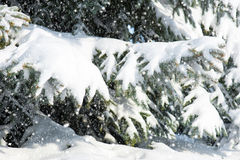 Fir tree branches with snow Stock Photos