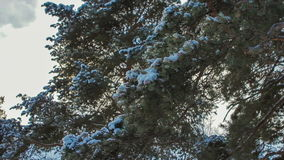 Fir tree branches with snow in foreground - slide. And focus play, camera movement from right to left down stock footage