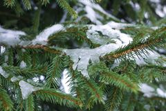 Fir-tree branches with snow in winter park. Fir-tree green branches with snow in winter park Royalty Free Stock Image