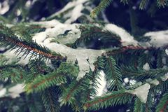 Fir-tree branches with snow in winter park. Fir-tree green branches with snow in winter park Royalty Free Stock Photos