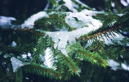 Fir-tree branches with snow in winter park. Fir-tree green branches with snow in the park Stock Photography