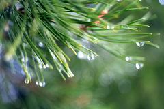 Fir tree branches texture water on it Royalty Free Stock Photo