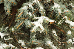 Fir tree branches under snow. Cover Royalty Free Stock Photos