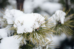 Fir tree branches under snowfall. Tree branches under snow. Snow fir tree branches under snowfall. Winter detail, natural winter holiday background. full frame Royalty Free Stock Images