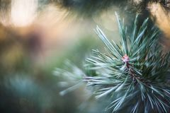 Fir tree brunch close up royalty free stock photo