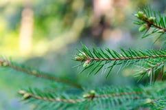 Fir tree brunch close up. Shallow focus Royalty Free Stock Photos
