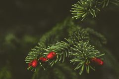 Fir tree brunch close up. Shallow focus. Fluffy fir tree brunch close up. royalty free stock photos