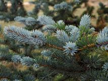 Fir tree brunch close up. Shallow focus. Fluffy fir tree brunch close up. Christmas wallpaper concept. Copy space. drops stock photo