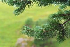 Fir tree brunch close up. Shallow focus. Fluffy fir tree brunch close up. Copy space.  stock image