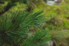 Fir tree brunch close up. Shallow focus. Fluffy fir tree brunch close up. Copy space.  stock photo