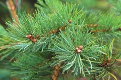 Fir tree brunch close up. Shallow focus. Fluffy fir tree brunch close up. Copy space.  royalty free stock image