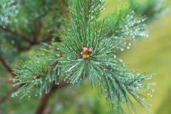 Fir tree brunch close up. Shallow focus. Fluffy fir tree brunch close up. Copy space.  royalty free stock photo
