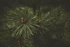 Fir tree brunch close up. Shallow focus. Fluffy fir tree brunch close up. royalty free stock image