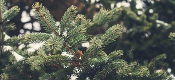 Fir tree brunch close up. Shallow focus. Pine brunch close up. Christmas wallpaper concept. Copy space. Fir tree brunch close up. Shallow focus. Winter Pine royalty free stock images