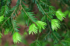 Fir tree bud that grow in forest Royalty Free Stock Images