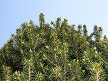 Fir tree buds Stock Images