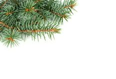 Fir tree bunches stock photo