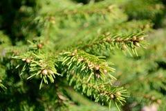 Fir-tree Royalty Free Stock Photos