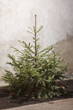 Fir tree for Christmas outdoor Stock Image