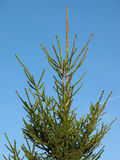 Fir tree for Christmas over blue sky Royalty Free Stock Photo