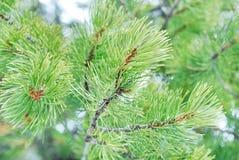 Fir-tree close up Royalty Free Stock Photo