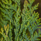 Fir Tree Close-up Stock Images