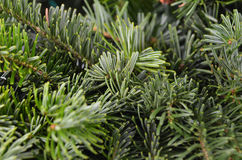 Fir tree, close up Royalty Free Stock Photography