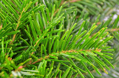 Fir tree, close up. Close up of green fir tree branch royalty free stock photography