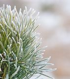 Fir tree close up with snow Royalty Free Stock Photography