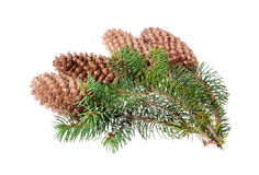 Fir tree with a cone on an Stock Photography