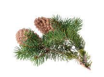 Fir tree with a cone on an Stock Image