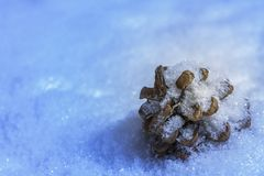 Fir tree cone in snow Royalty Free Stock Photo