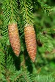 Fir tree cones Royalty Free Stock Image