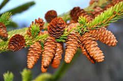 Fir tree cones Royalty Free Stock Images