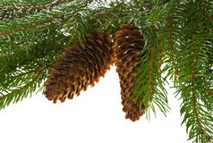 Fir tree with cones Stock Images