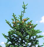 Fir tree with cones Royalty Free Stock Photography