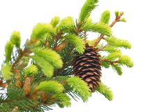 Fir-tree cones. On white background Stock Photos
