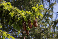 Fir tree and cones. Branch of fir tree (Abies Alba) with big cones Stock Photo