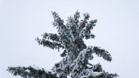 Fir tree with cones in hoarfrost. Stock Images