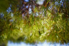Free Fir Tree Cones On Branch In Forest Royalty Free Stock Photo - 122616195