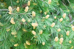 Fir tree with cones Stock Photo