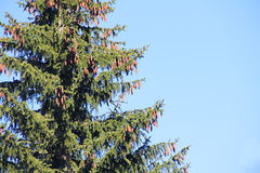 Fir Tree with Cones Royalty Free Stock Photos