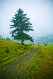Fir tree in countryside Royalty Free Stock Photography