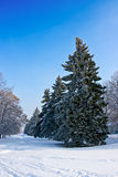 Fir-tree covered by frost. Beautiful fir-tree covered by snow and frost Stock Image