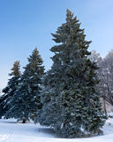 Fir-tree covered by frost Royalty Free Stock Photo