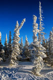 Fir-tree covered with frost and snow. Frosty and sunny winter day Royalty Free Stock Photography