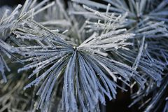 Fir tree covered with ice close-up Royalty Free Stock Photos